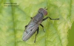 Pherbellia griseola 1