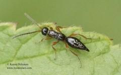 Proctotrupidae sp. 2