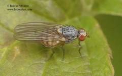 Pseudolyciella pallidiventris/stylata 1
