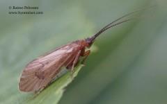 Anabolia brevipennis 2