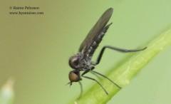 Bicellaria sp. 3