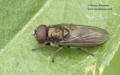 Cheilosia latifrons 3
