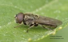 Cheilosia latifrons 4