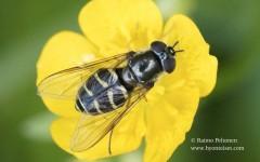 Dasysyrphus pauxillus/pinastri