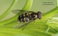 Dasysyrphus venustus 1