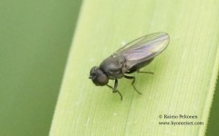 Ditrichophora fuscella