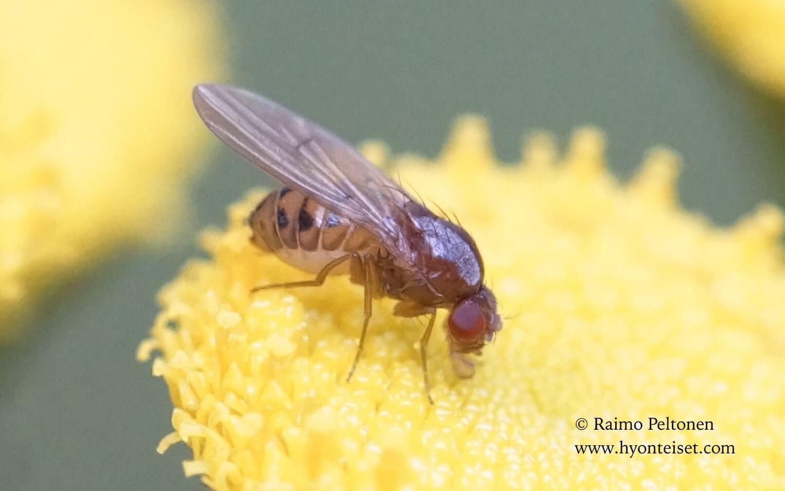 Drosophila phalerata (det. Paul Beuk), 6.8.2017 Jyväskylä