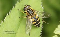Helophilus affinis 1