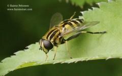 Helophilus affinis 2
