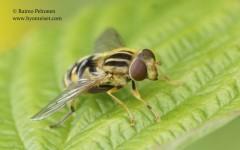 Helophilus trivittatus 2