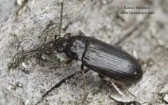 Mycetochara obscura