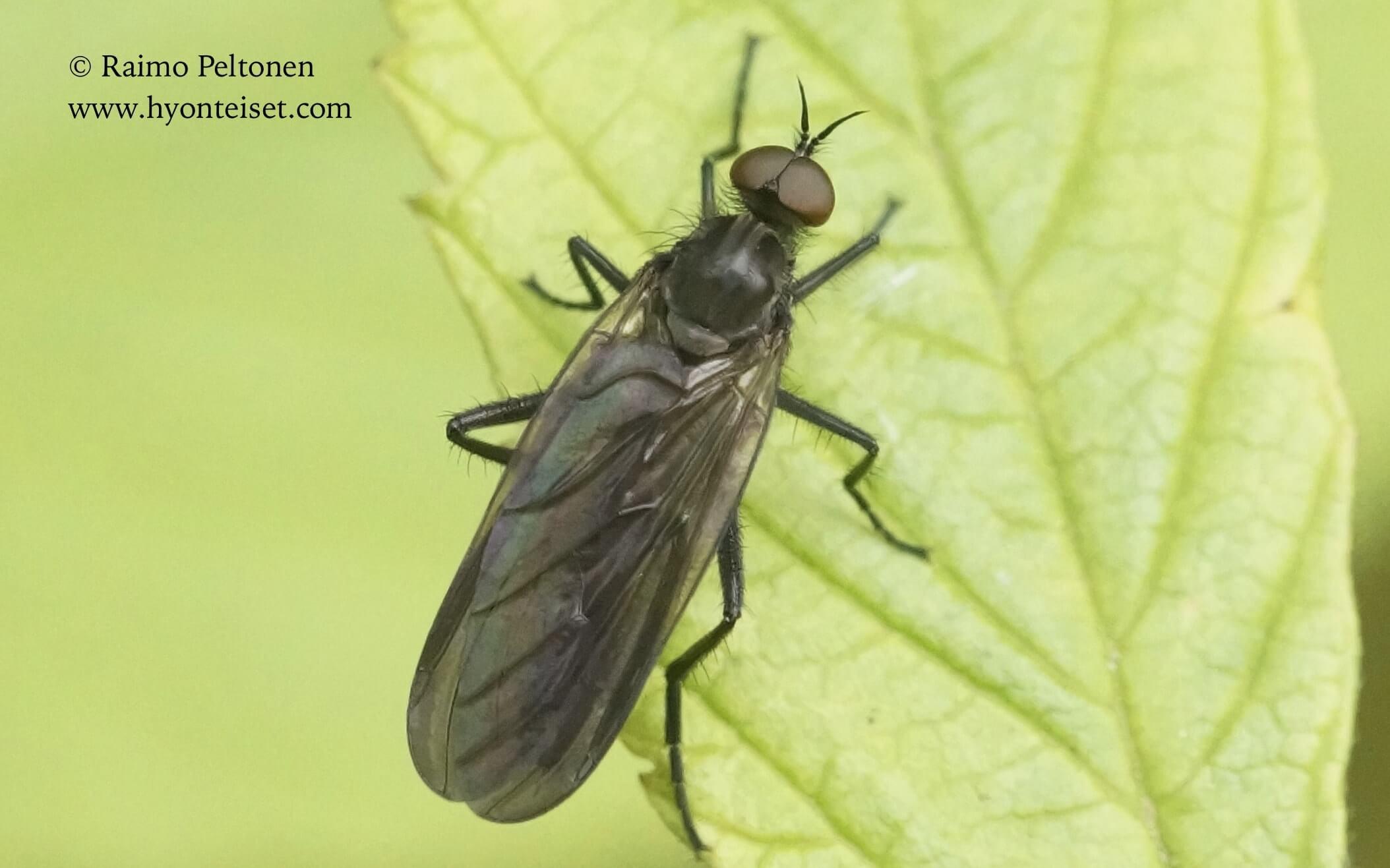 Rhamphomyia spinipes (det. Paul Beuk), 2.9.2017 Jyväskylä