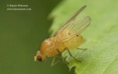 Sapromyza sexpunctata 1