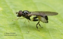 Sphegina clunipes 3