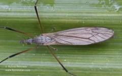 Tipula cf. pagana