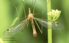 Tipula fascipennis