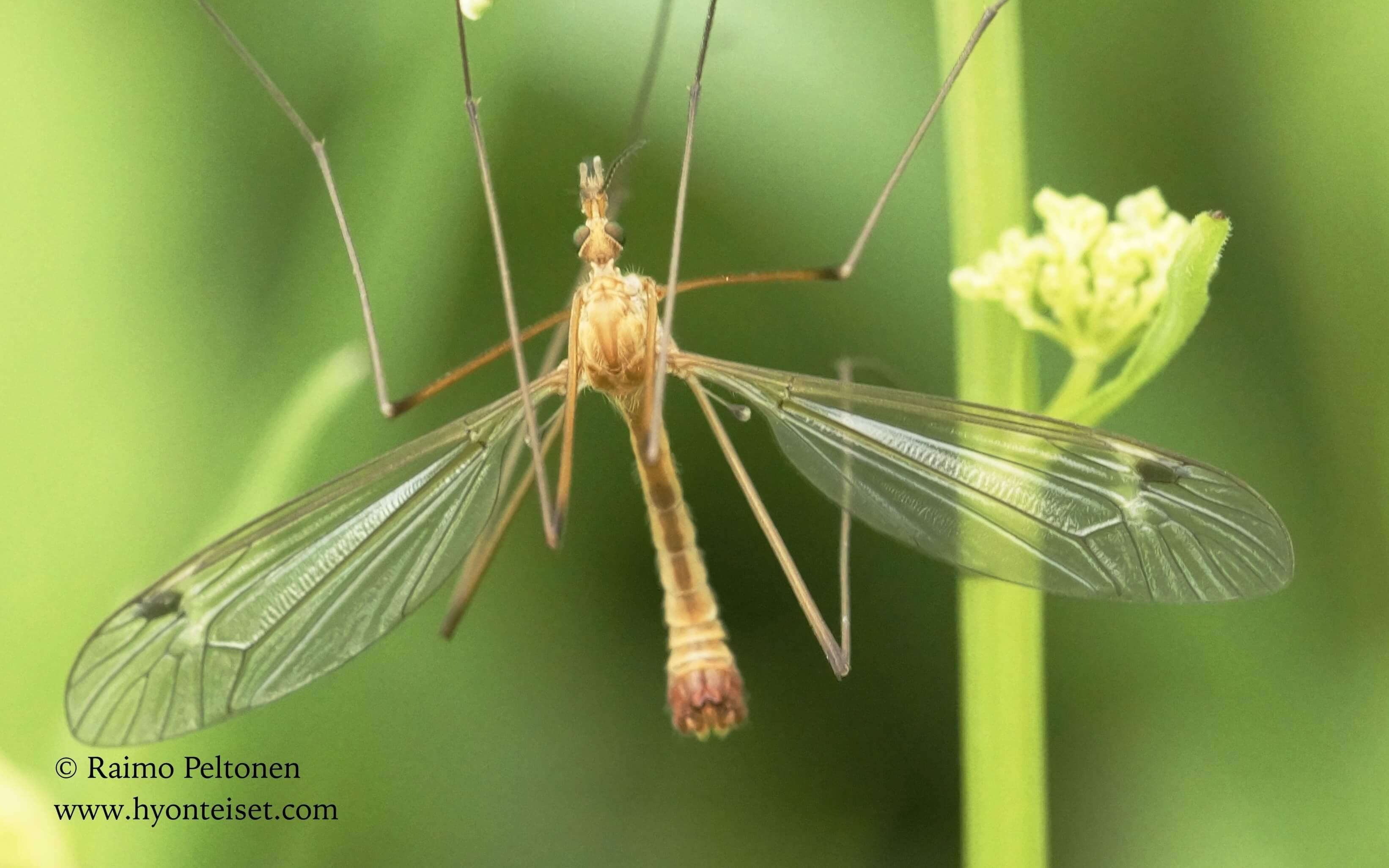 Tipula fascipennis-tarvaspiimäheikki (det. Esko Viitanen), 7.7.2017 Jyväskylä