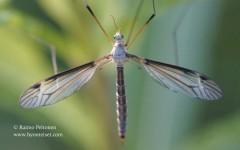 Tipula marginella