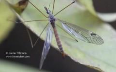 Tipula signata