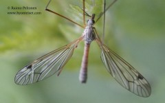 Tipula submarmorata