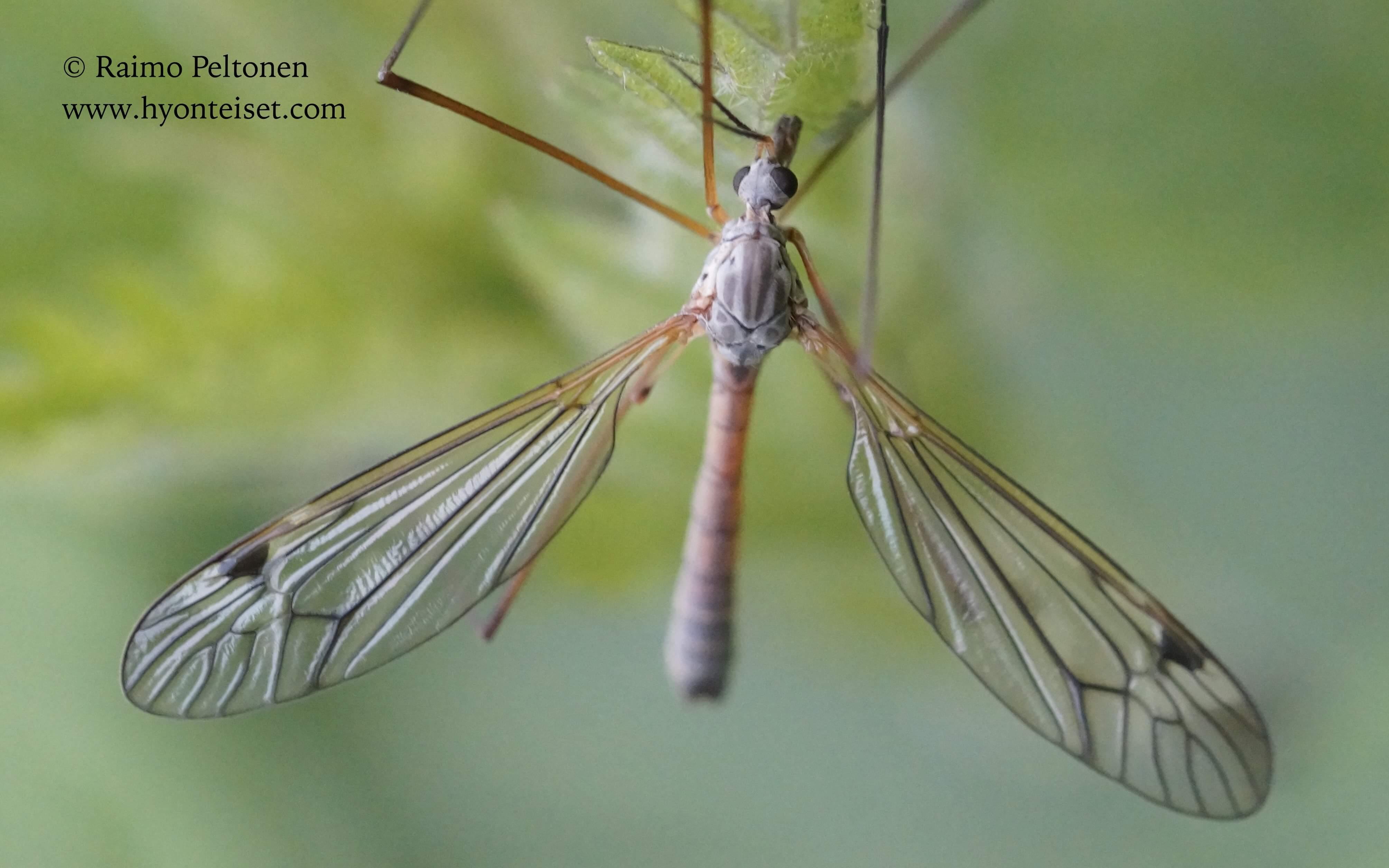 Tipula submarmorata (conf. Esko Viitanen), 13.6.2017 Jyväskylä