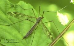 Tipula unca