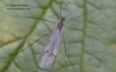 Trichocera sp. 1