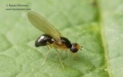 Chamaepsila pectoralis 2