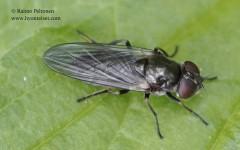 Cheilosia variabilis 3