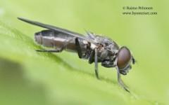 Cheilosia variabilis 4