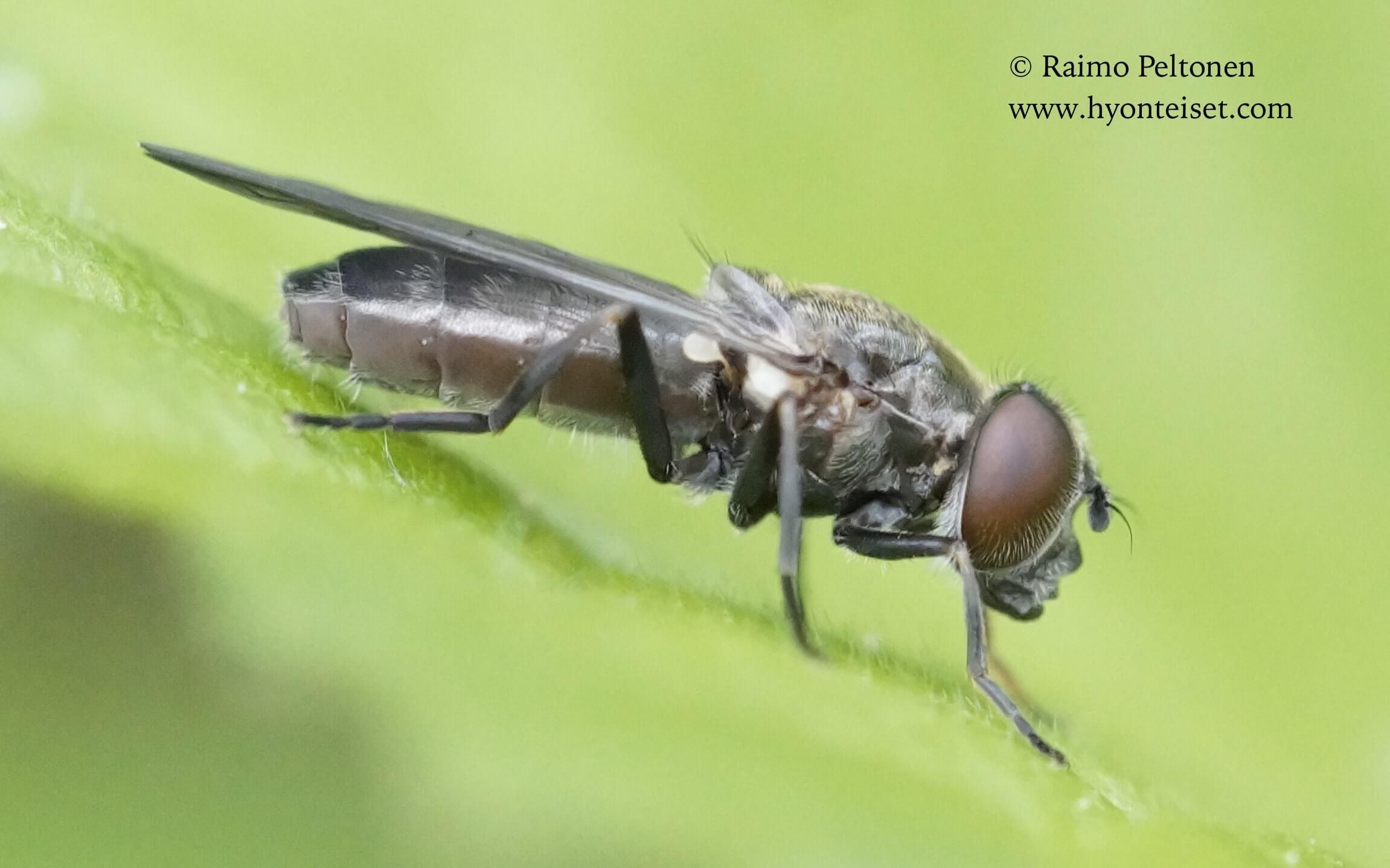 Cheilosia variabilis-isopartakeilanen, naaras (det. Antti Haarto), 13.6.2017 Jyväskylä