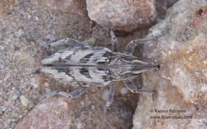 Coniocleonus sp.