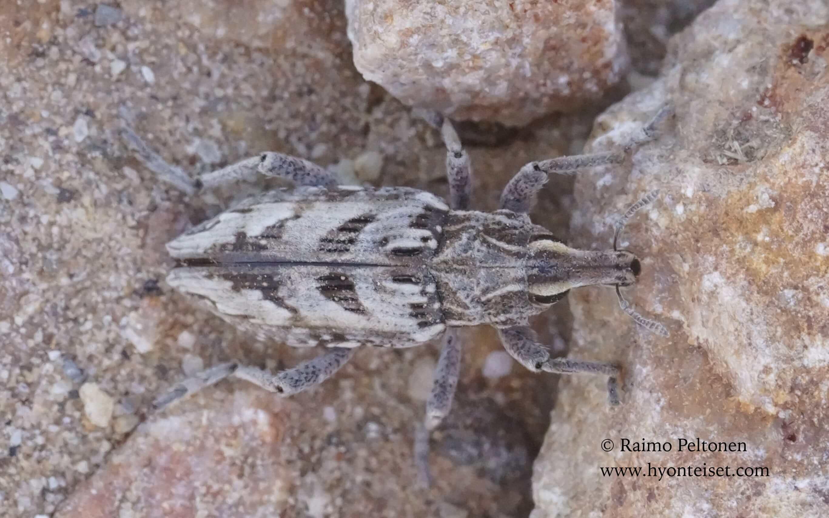 Coniocleonus excoriatus (Curculionidae), 5.11.2017 Espanja