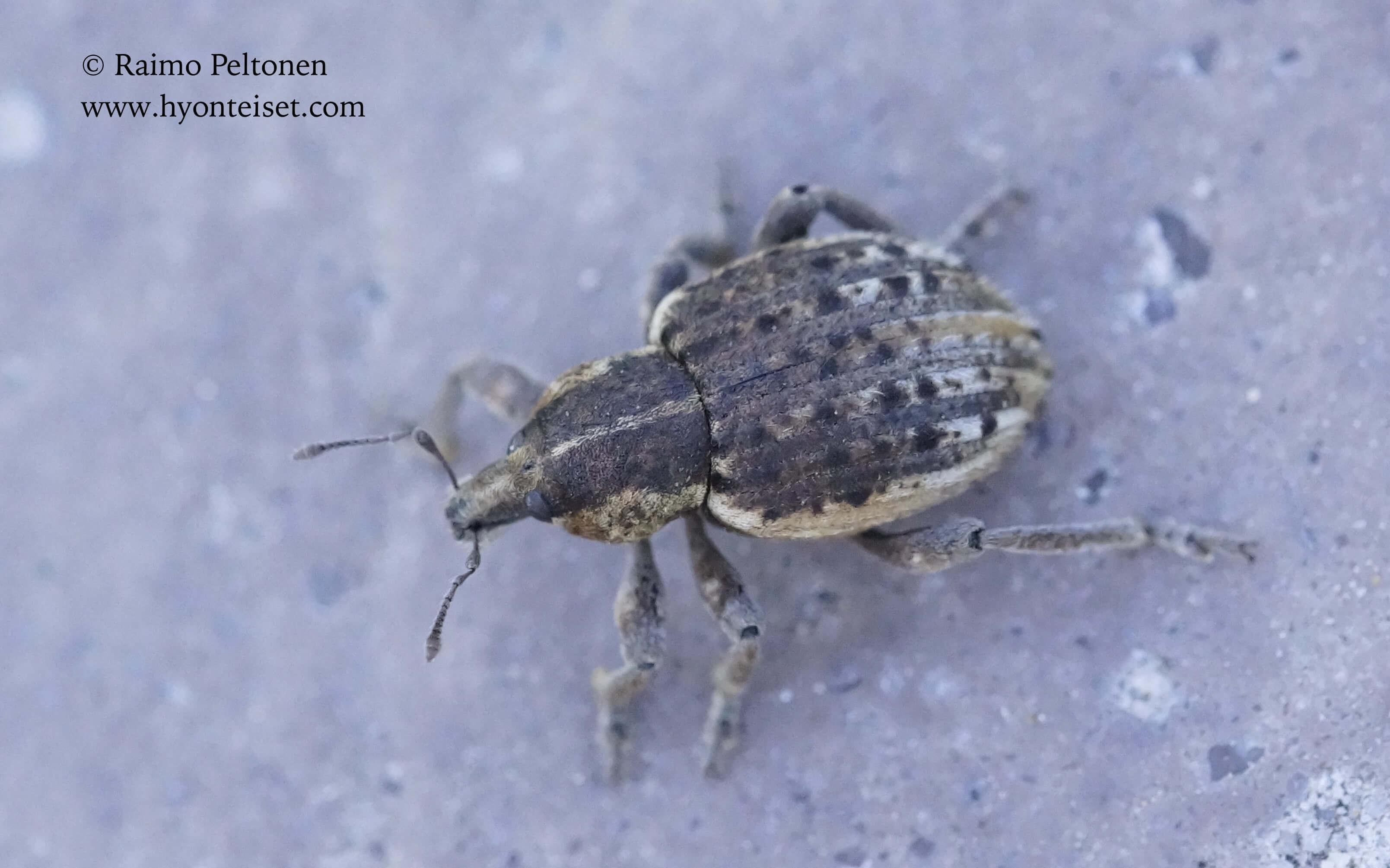 Donus zoilus (Curculionidae) (det. Thomas Legrand), 5.11.2017 Espanja