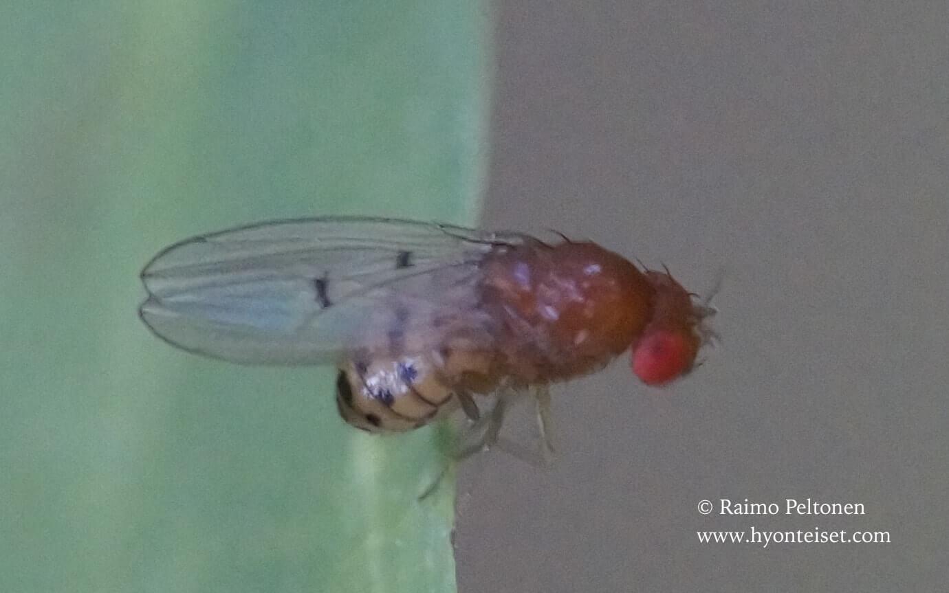 Drosophila cf. transversa (det. Paul Beuk), 27.7.2017 Jyväskylä