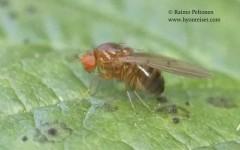 Drosophila kunzei