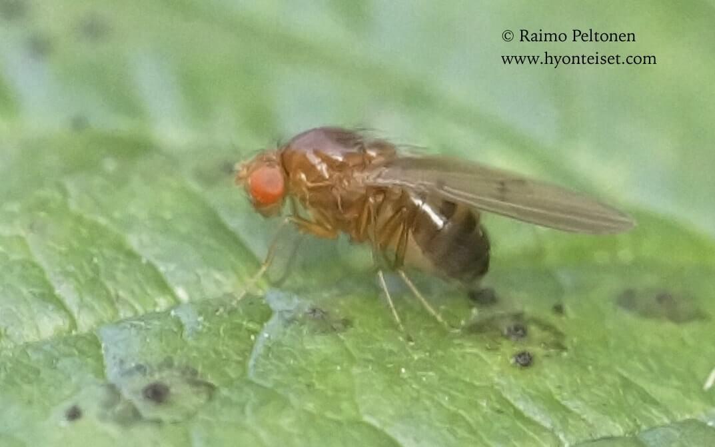 Drosophila kunzei (det. Paul Beuk), 23.9.2017 Jyväskylä