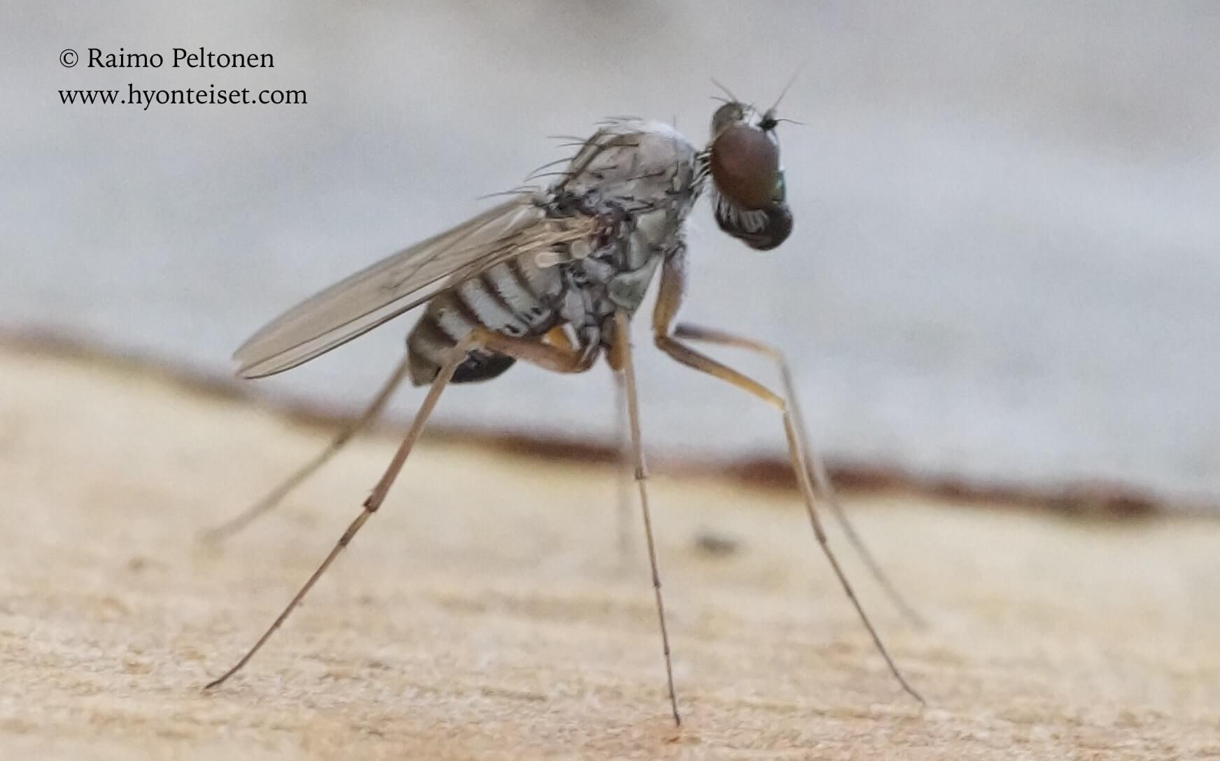 Medetera cf. flavipes (Dolichopodidae) (det. Piluca Alvarez), 5.11.2017 Espanja