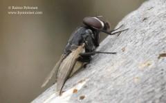 Musca cf. autumnalis 2
