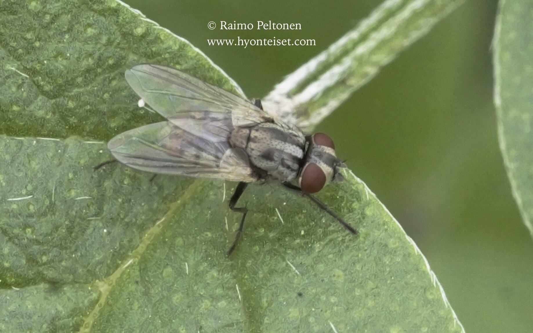 Musca sorbens, naaras (Muscidae) (det. Piluca Alvarez), 31.10.2017 Espanja