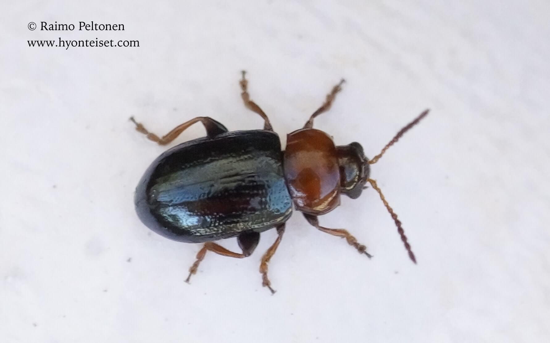 Podagrica sp. (Chrysomelidae) (det. Piluca Alvarez), 5.11.2017 Espanja
