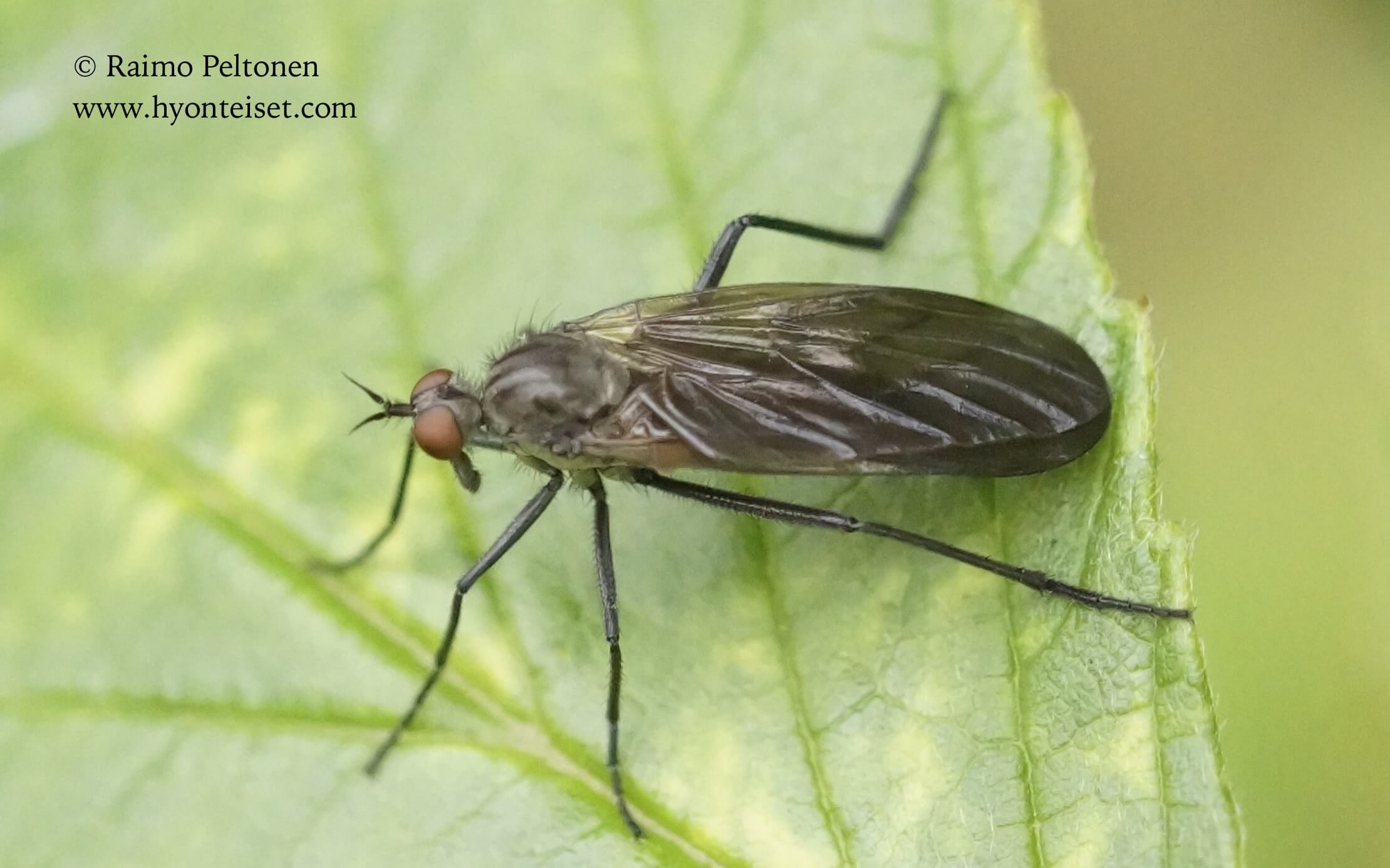 Rhamphomyia spinipes, naaras (det. Paul Beuk), 15.9.2017 Jyväskylä