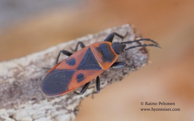 Scantius aegyptius (Pyrrhocoridae) (det. Piluca Alvarez), 5.11.2017 Espanja