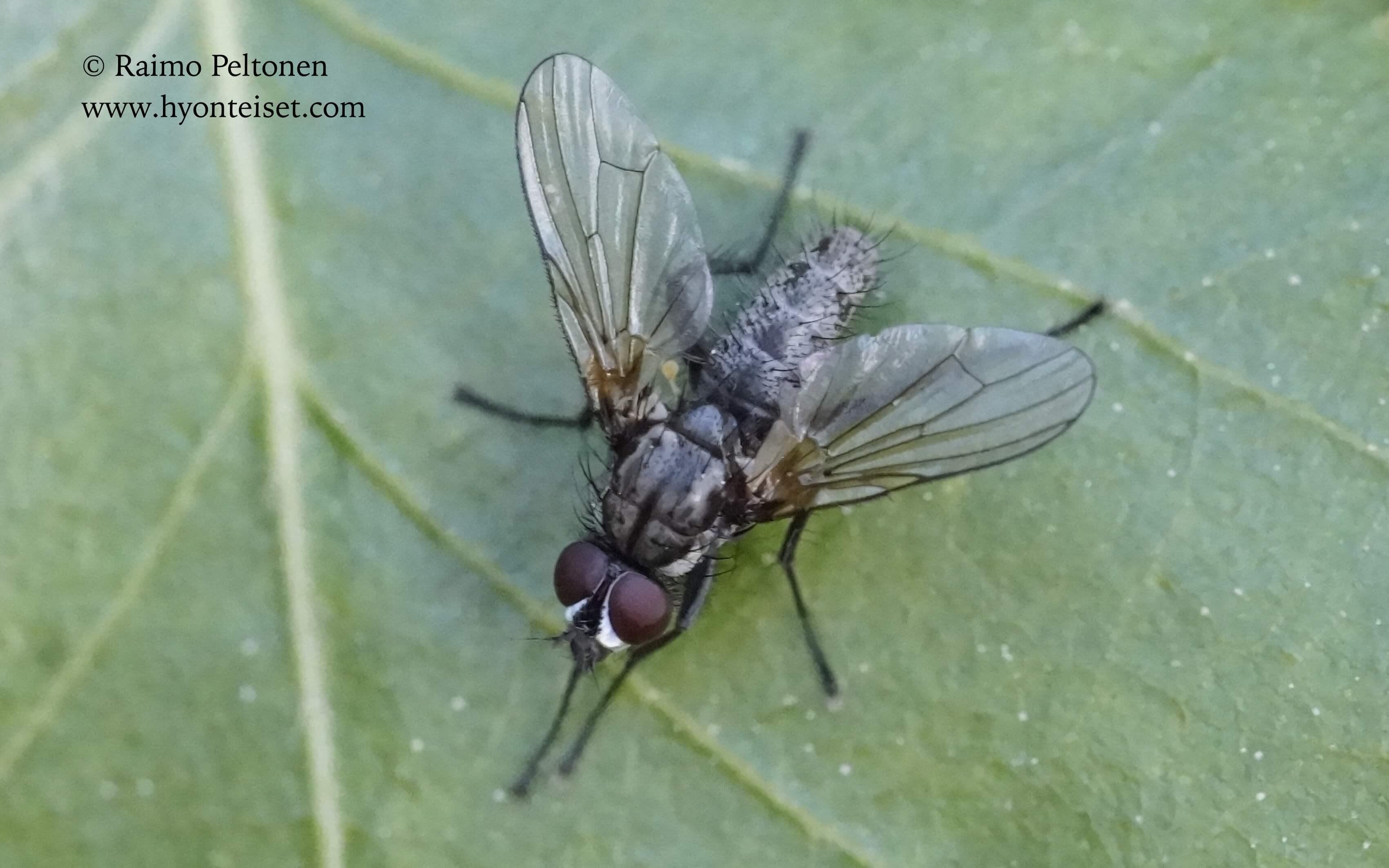 cf. Botanophila striolata (det. Johanna van Erkelens), 21.6.2017 Jyväskylä