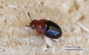 Agathidium nigripenne