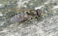 Parasyrphus macularis