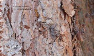 Acanthocinus aedilis