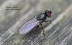 Acartophthalmus nigrinus 3