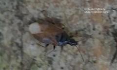 Acompoceris pygmaeus