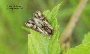 Actinotia polyodon